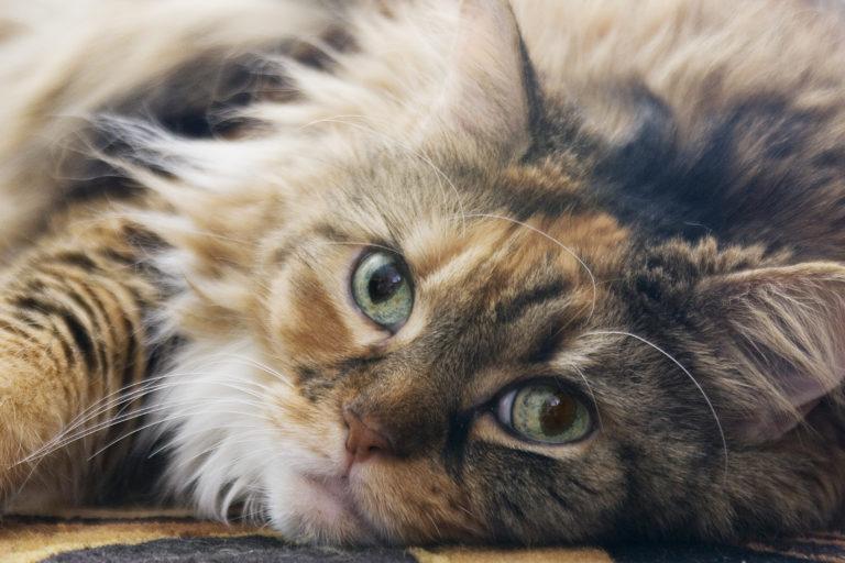 Eine Maine-Coon-Katze in Nahaufnahme