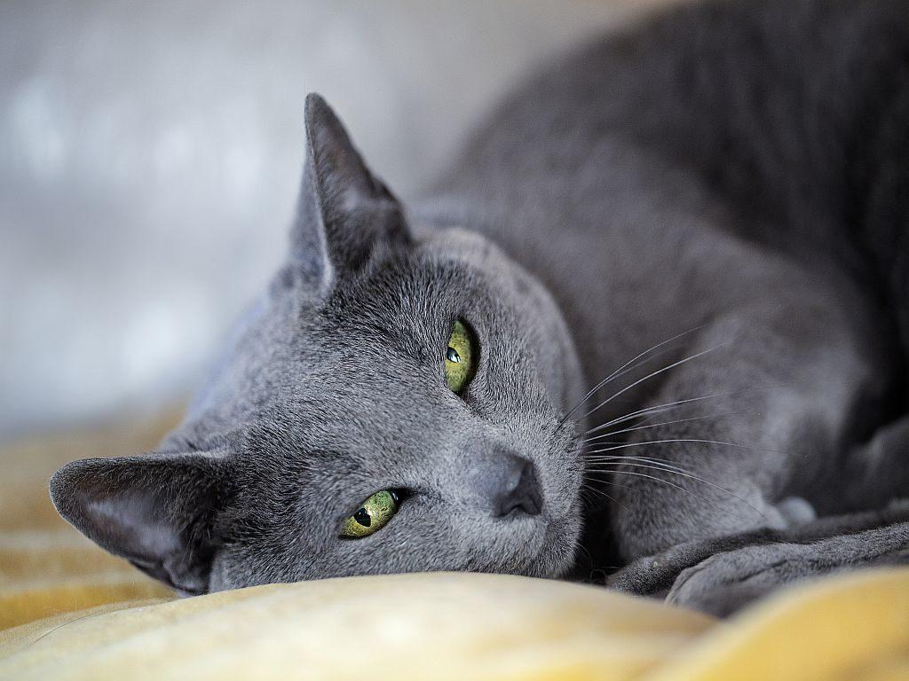 Artgerechte Katzenhaltung einer Russisch Blau.