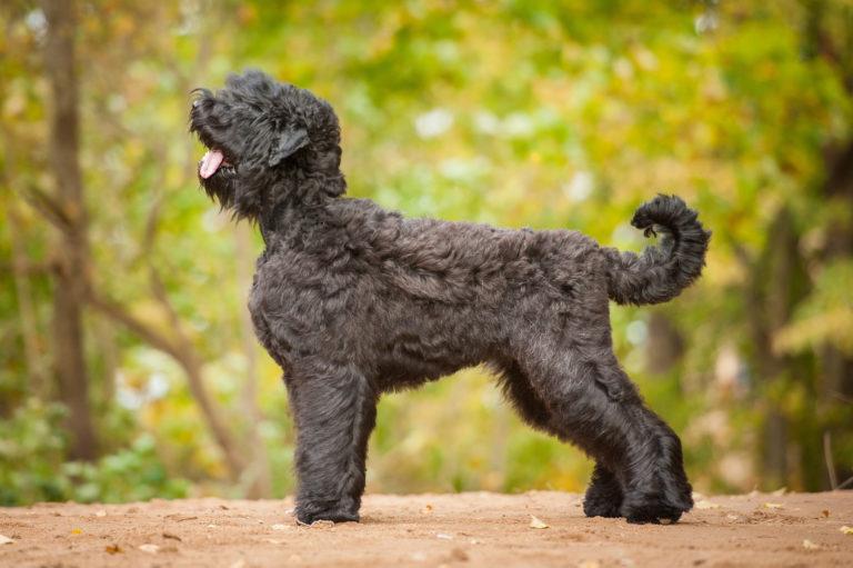 Russischer Schwarzer Terrier 2