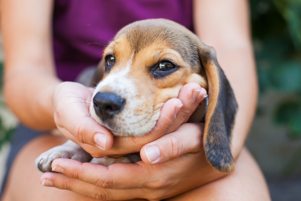 beagle welpe süß