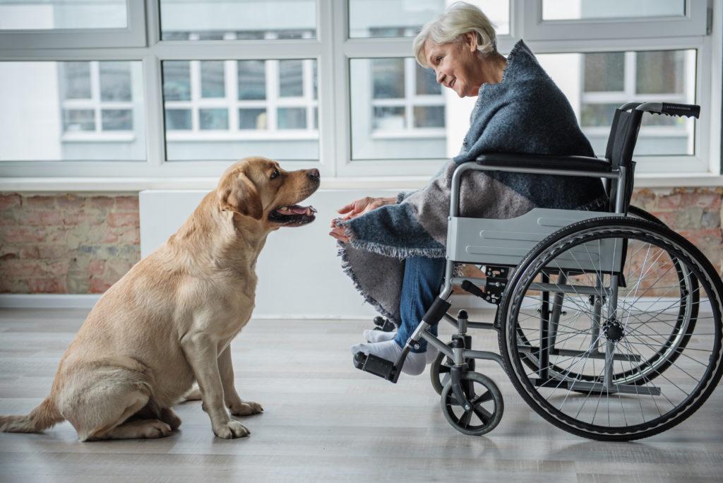 golden retriever therapiehund mit oma