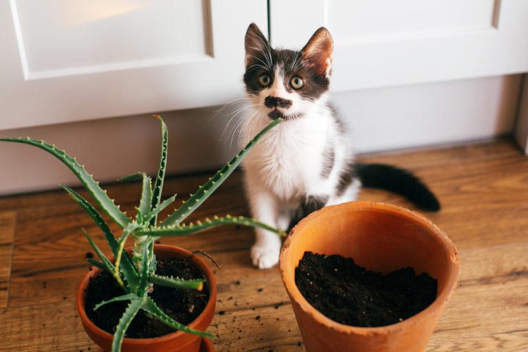 Schwarz und weiße Katze Blumentopf