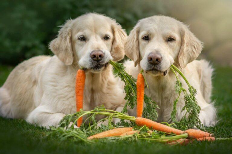Hund vegetarisch ernähren mit Karotten