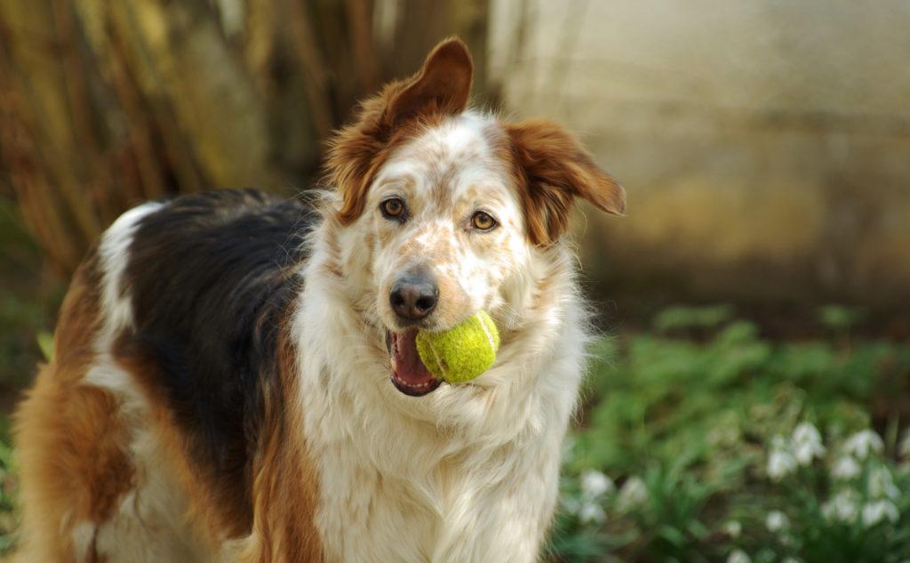 alte hund mit balle