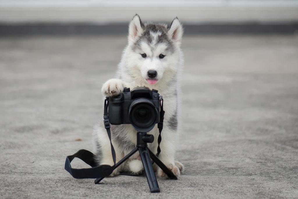 Huskywelpe drückt den Auslöser einer Kamera