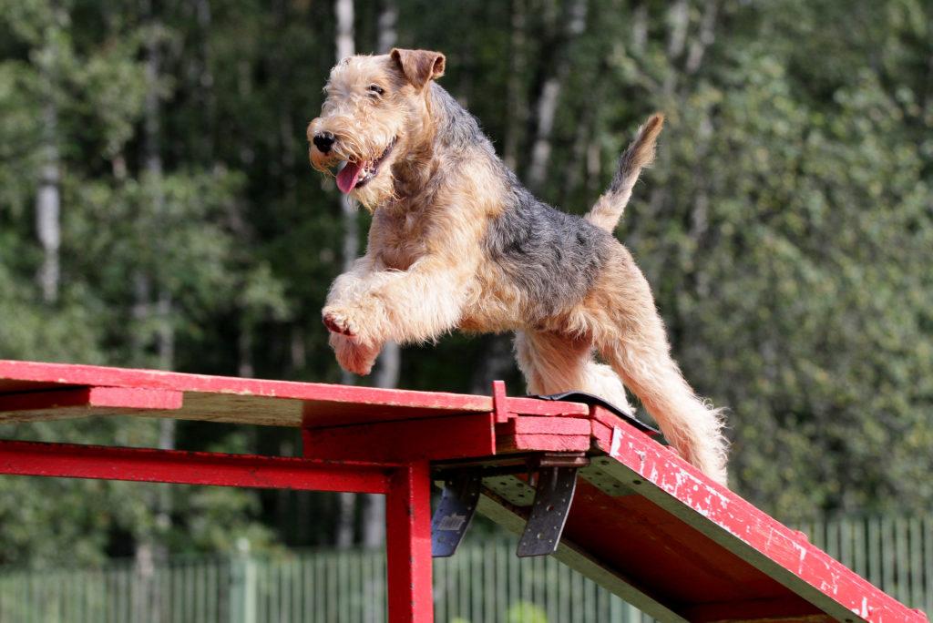 lakeland terrier macht Agility