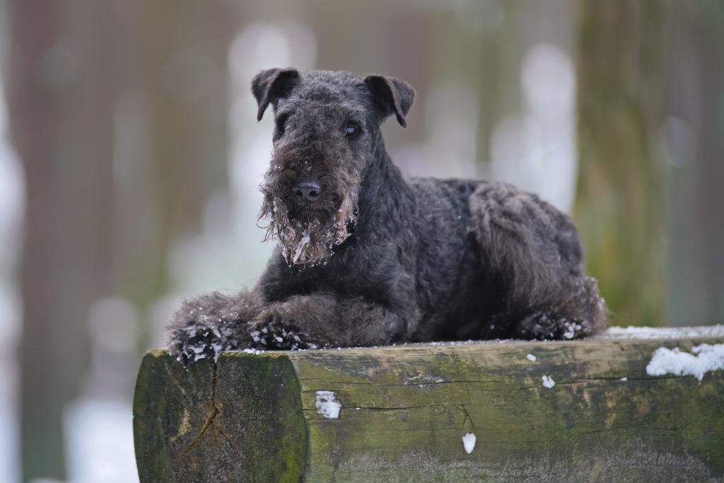 schwarzer lakeland terrier