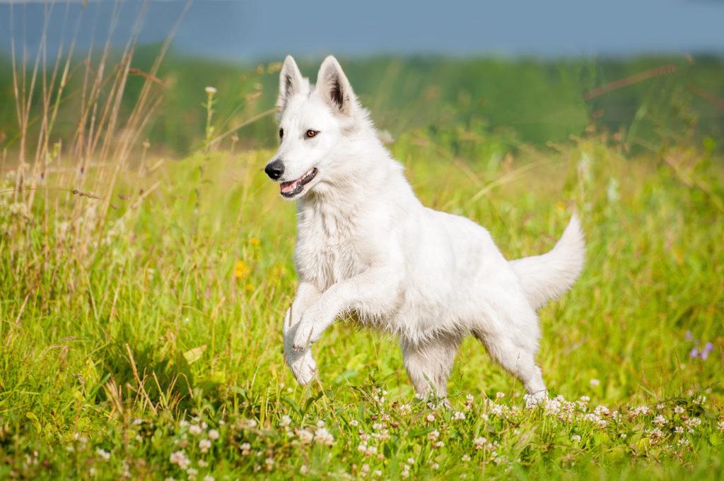 berger blanc suisse im grass