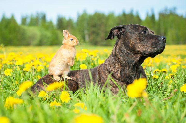 american staffordshire terrier mit kaninchen im grass