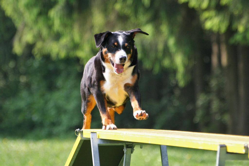 appenzeller sennenhund auf defility rampe