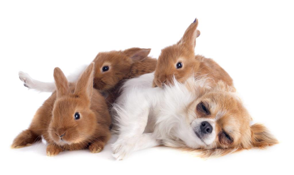chihuahua mit kaninchen
