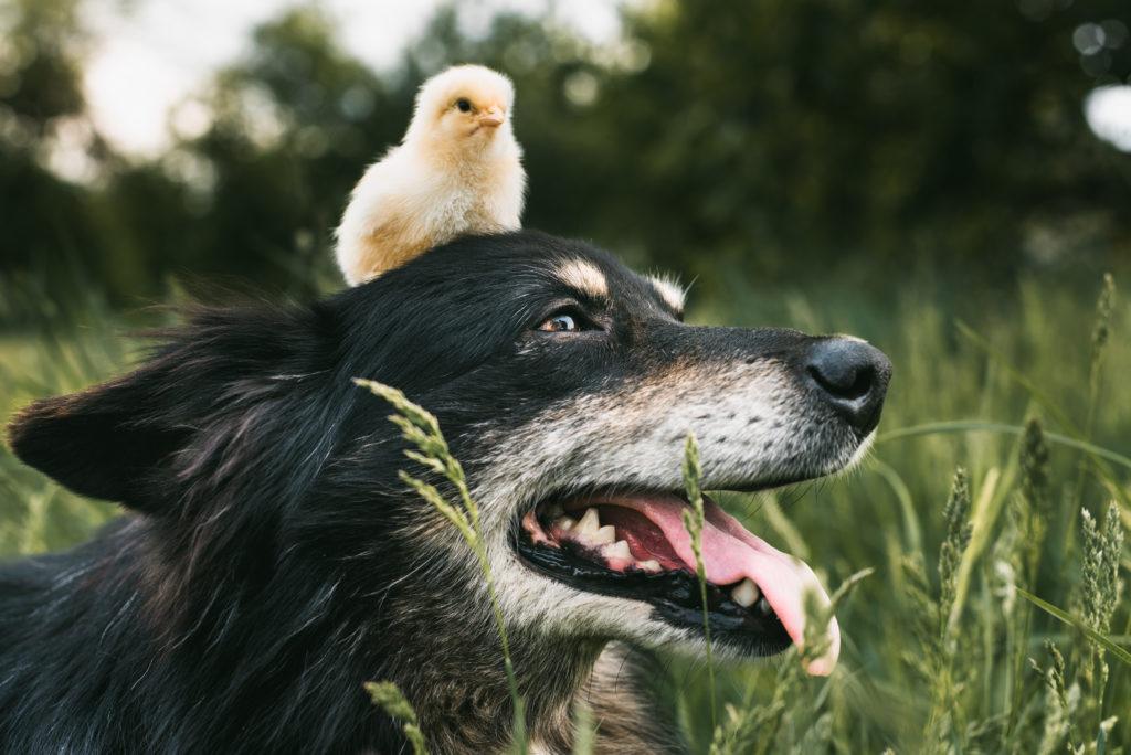 hund mit hühner