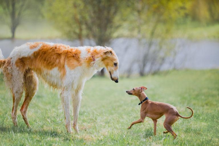 klein und groß windhunde