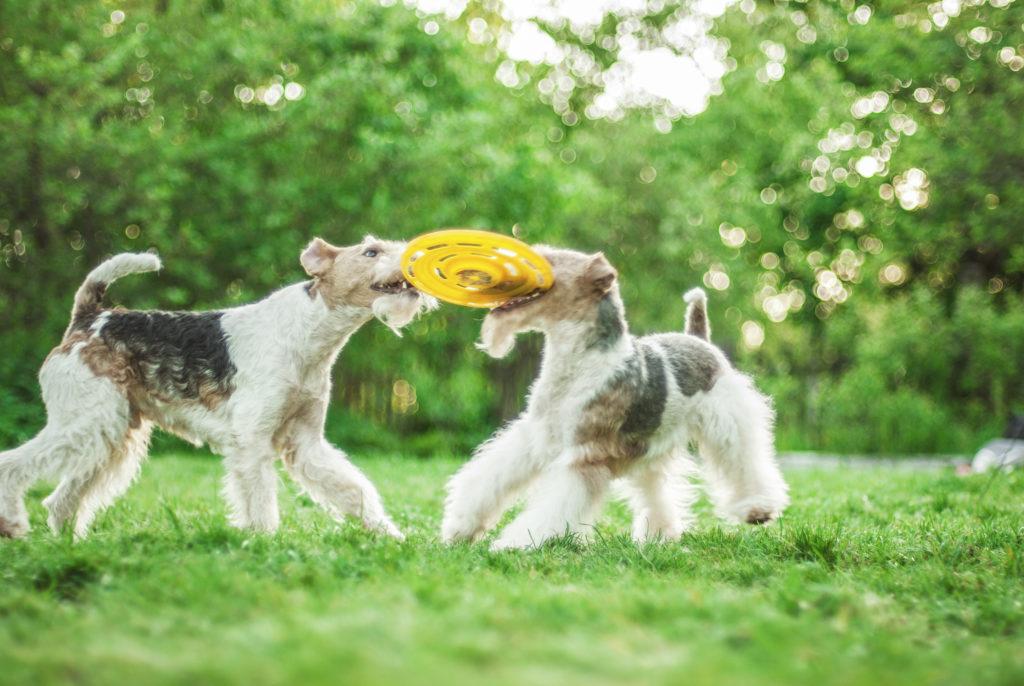 zwei drahthaar foxterrier spielen mit frisbee
