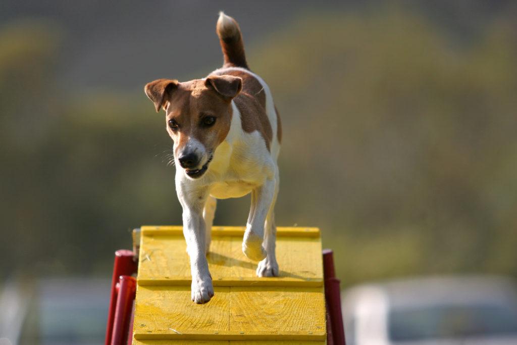 jack russel terrier auf agility rampe