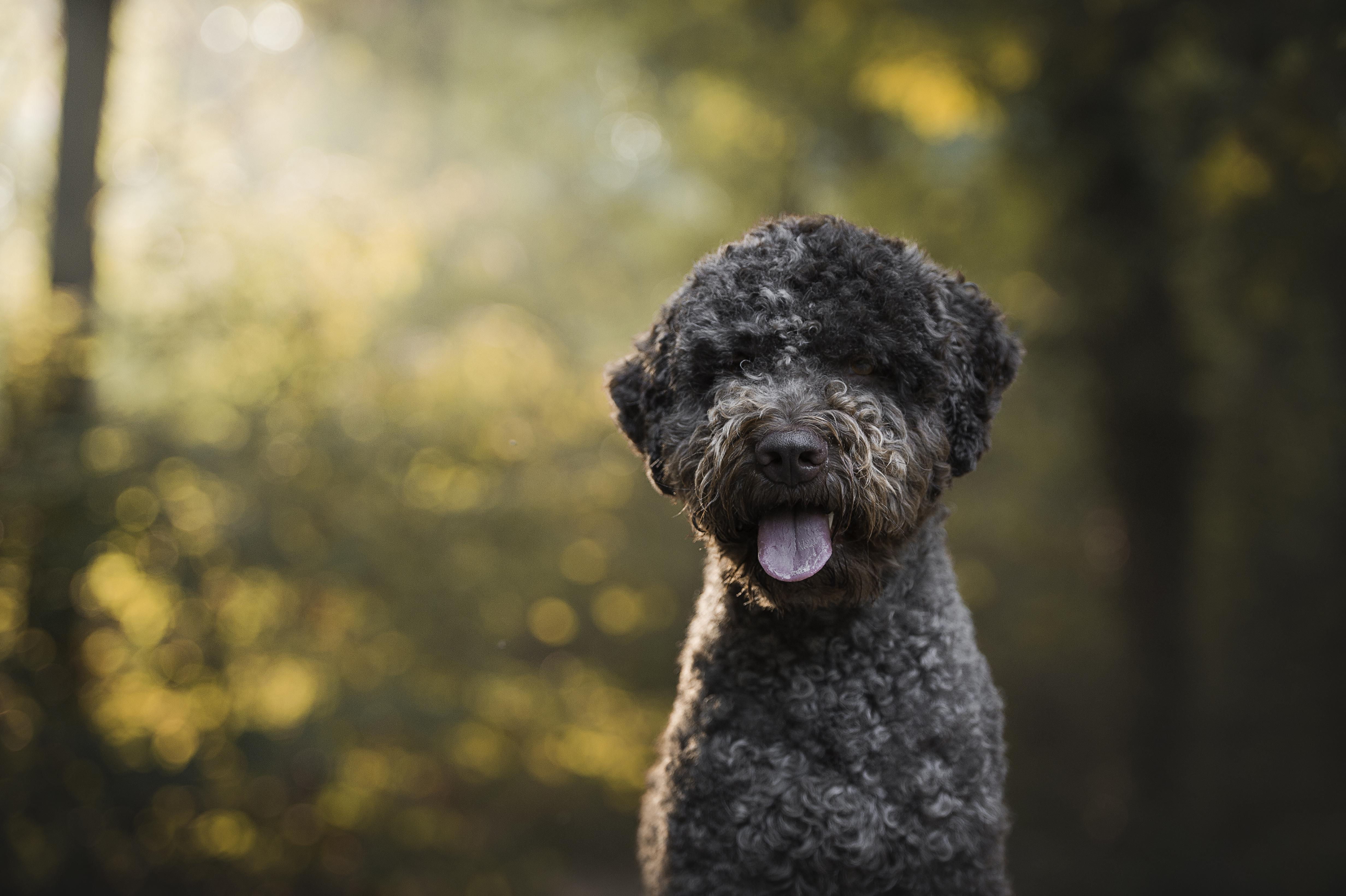 lagotto romagnolo hund