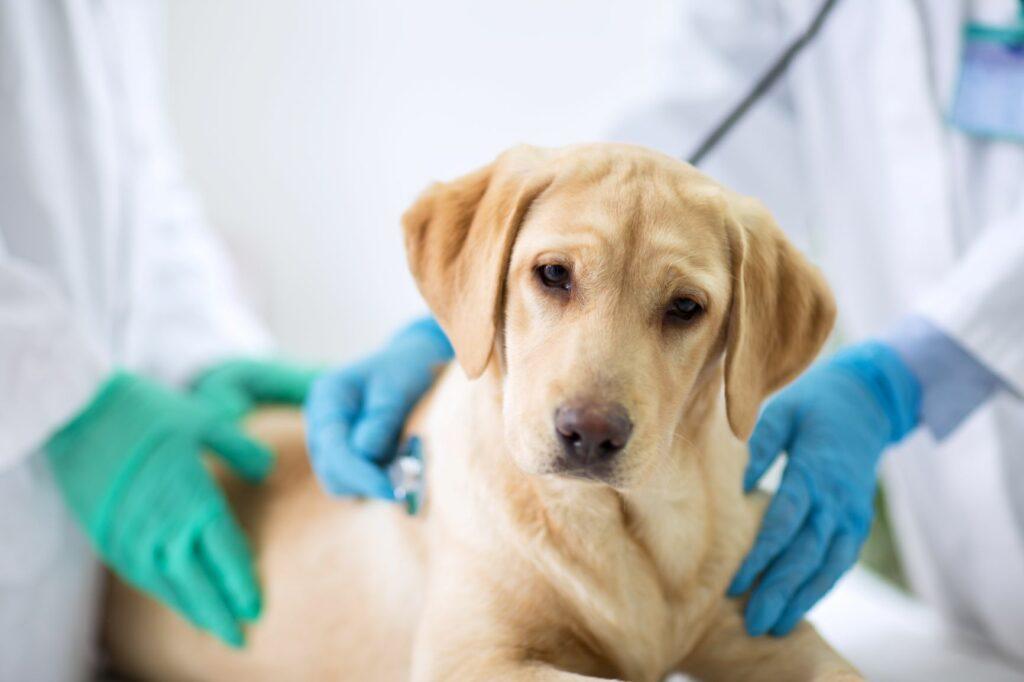 Hund Zwingerhusten Tierarzt