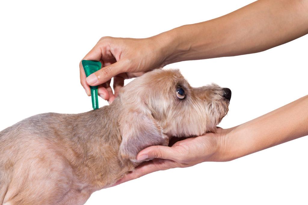 Anaplasmose beim Hund wird mit Spot-on behandelt