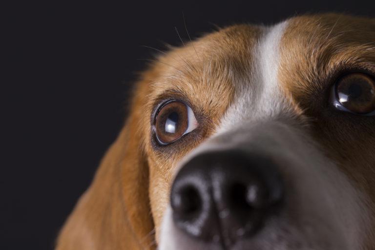 beagle gesicht