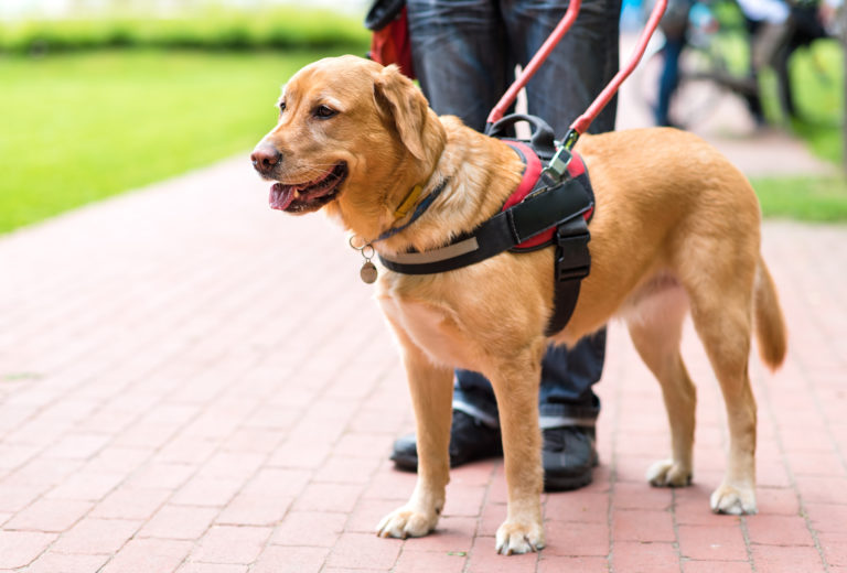 golden retriever blindenhund