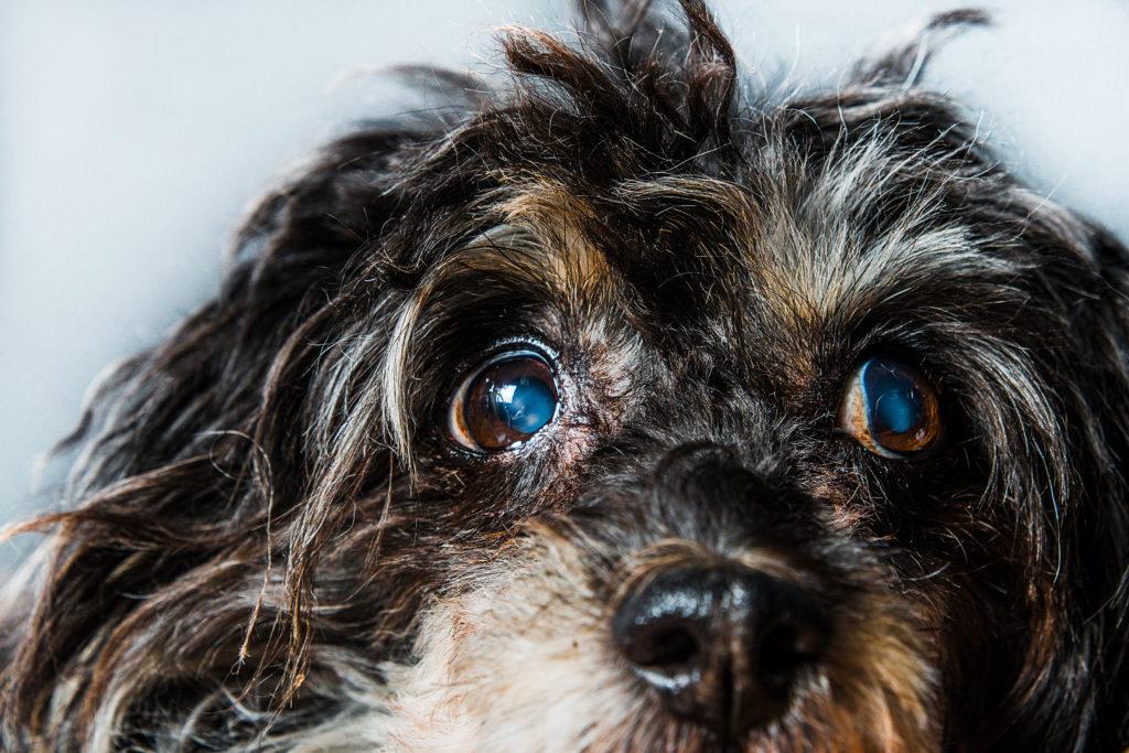 hund mit grauer star
