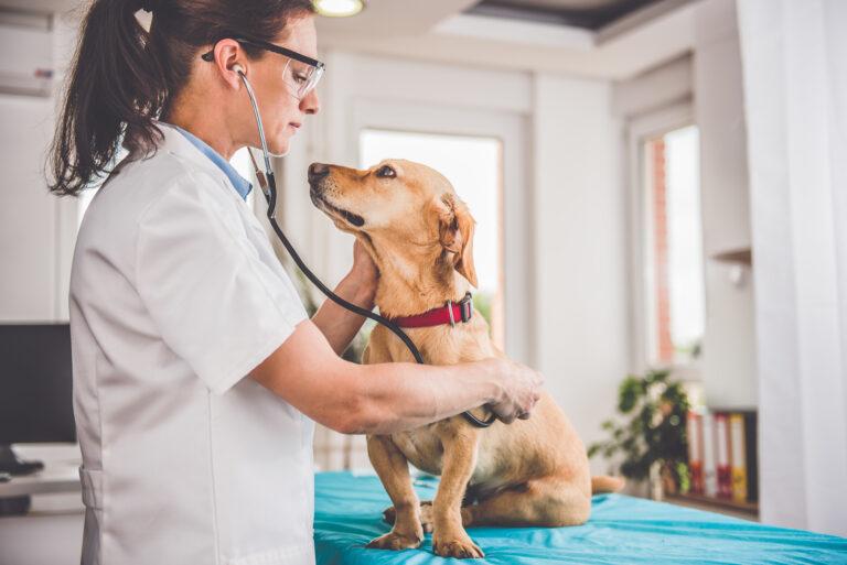 Addison-Krankheit beim Hund