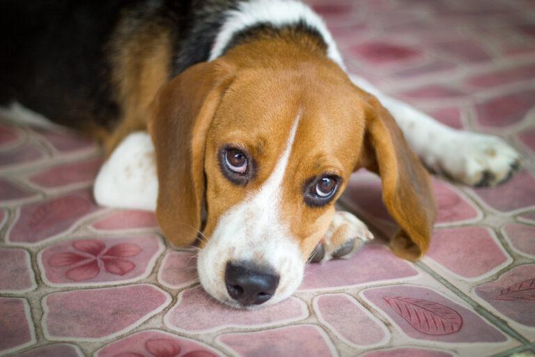 Leptospirose beim Hund