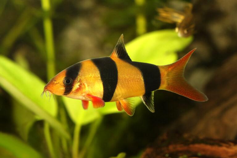 Prachtschmerle haltung im aquarium