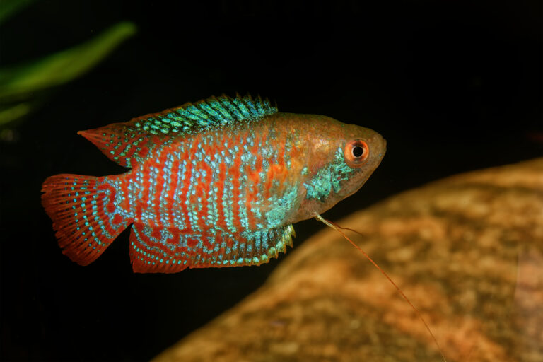 Zwergfadenfisch (Trichogaster lalius)