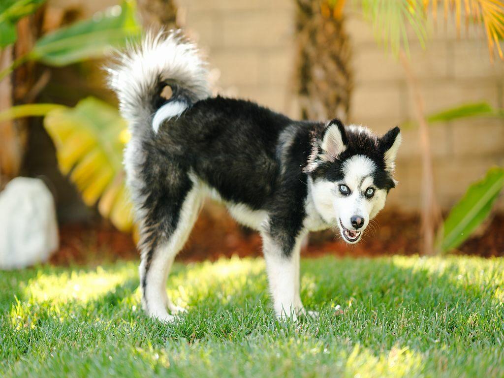 Pomsky Hund mit blauen Augen im Gras