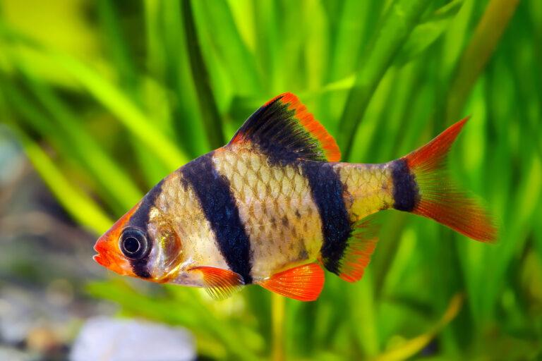sumatrabarbe haltung im aquarium