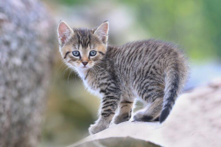 tabby katzenbaby zugelaufen
