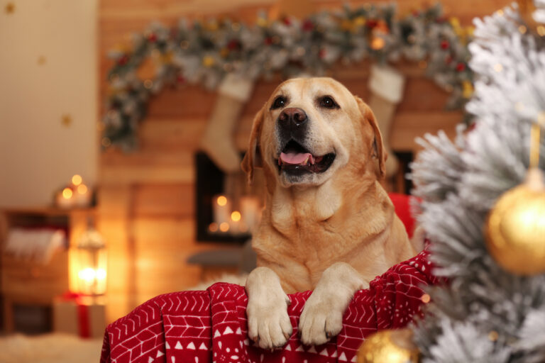 Golden Retriever als Weihnachtsgeschenk