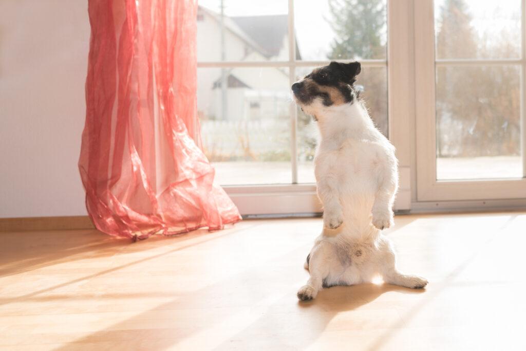 jack russell terrier mit Analdrüsenentzündung