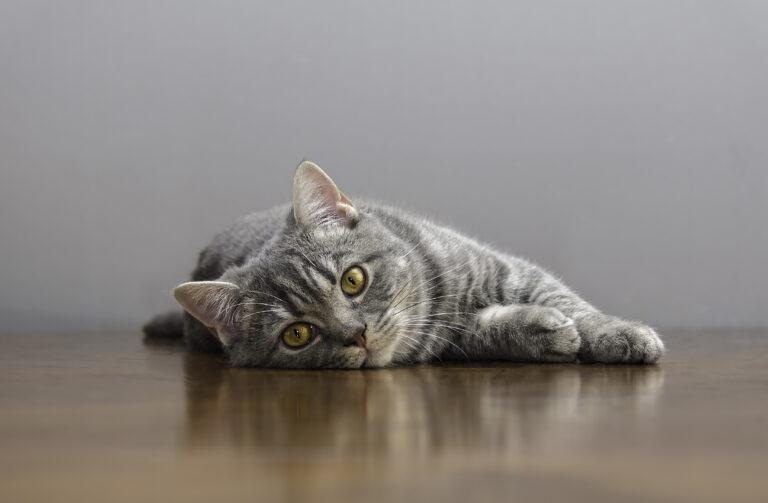 Leukose bei Katzen (FeLV)