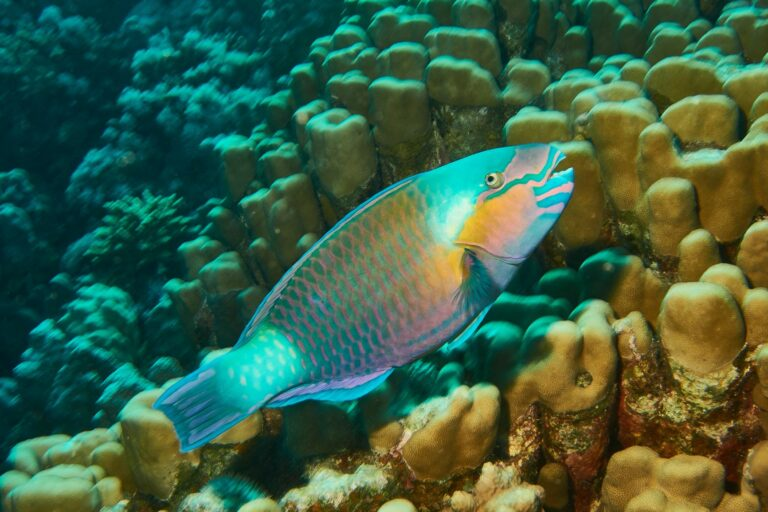 Papageifisch im Roten Meer 2