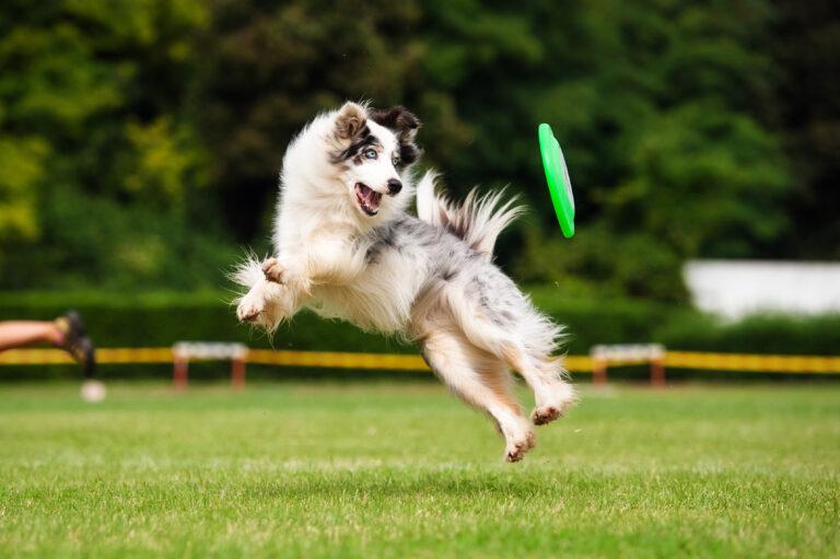 Australian Shepherd fängt Frisbee
