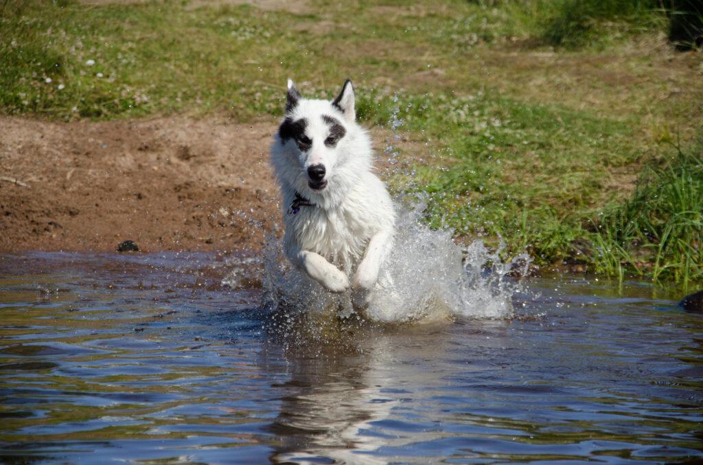 kanadischer eskimohund