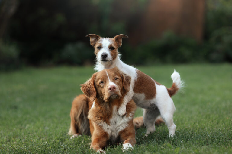 Jack Russell Terrier und Nova Scotia Duck Tolling Retriever im grass