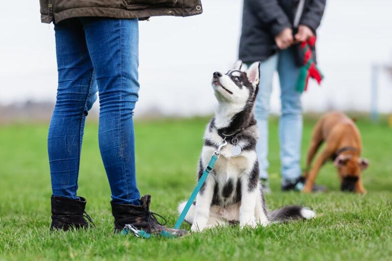 Longieren mit Husky welpe