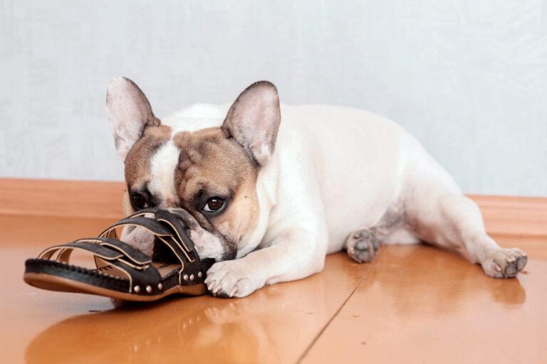 französische bulldogge knabbert an schuhe