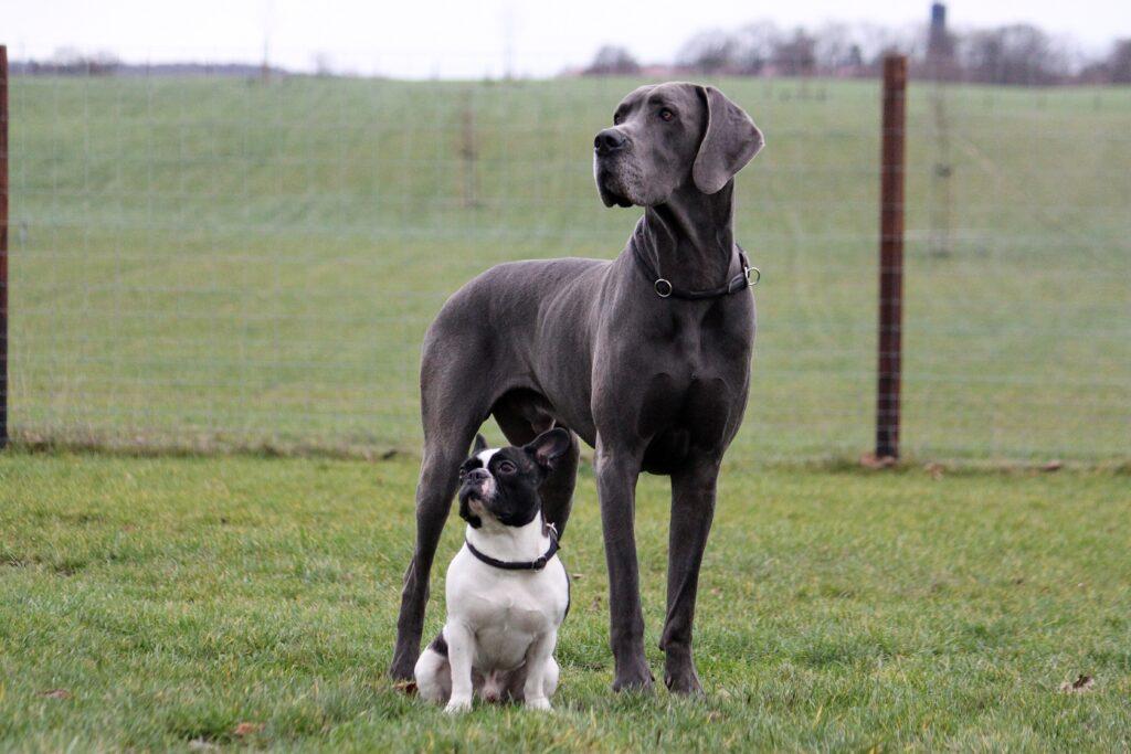 französische bulldogge und deutsche dogge im grass