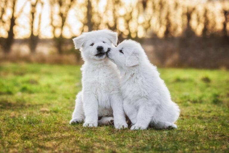 zwei weißer schäferhunde welpen