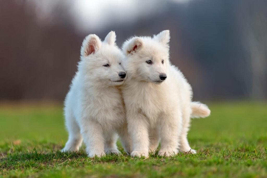 kokzidiose hund
