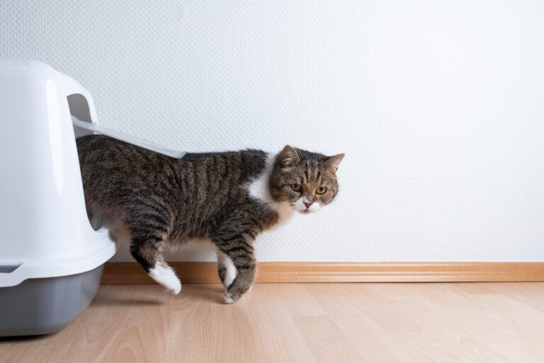 Blasenentzündung bei Katzen Katzenklo