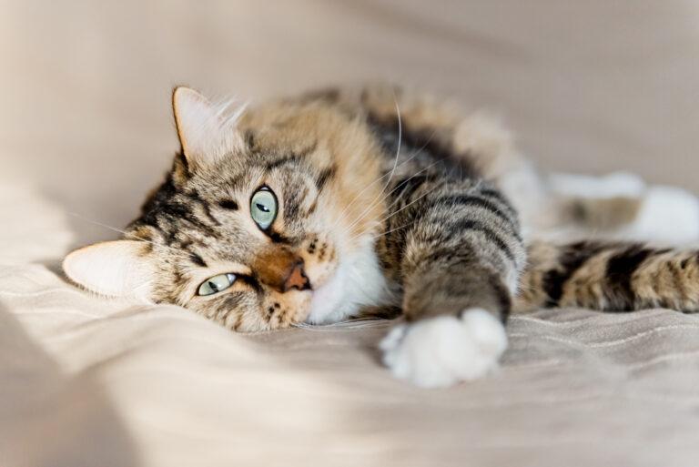 Bauchspeicheldrüsenentzündung bei Katzen