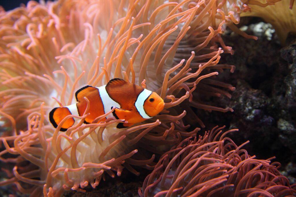 Clownfisch oder Amphiprion ocellaris