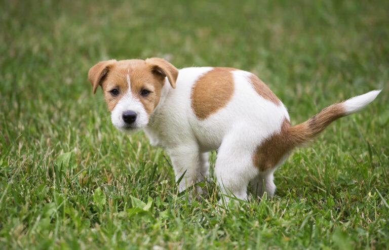 Hundeurin auf Rasen neutralisieren