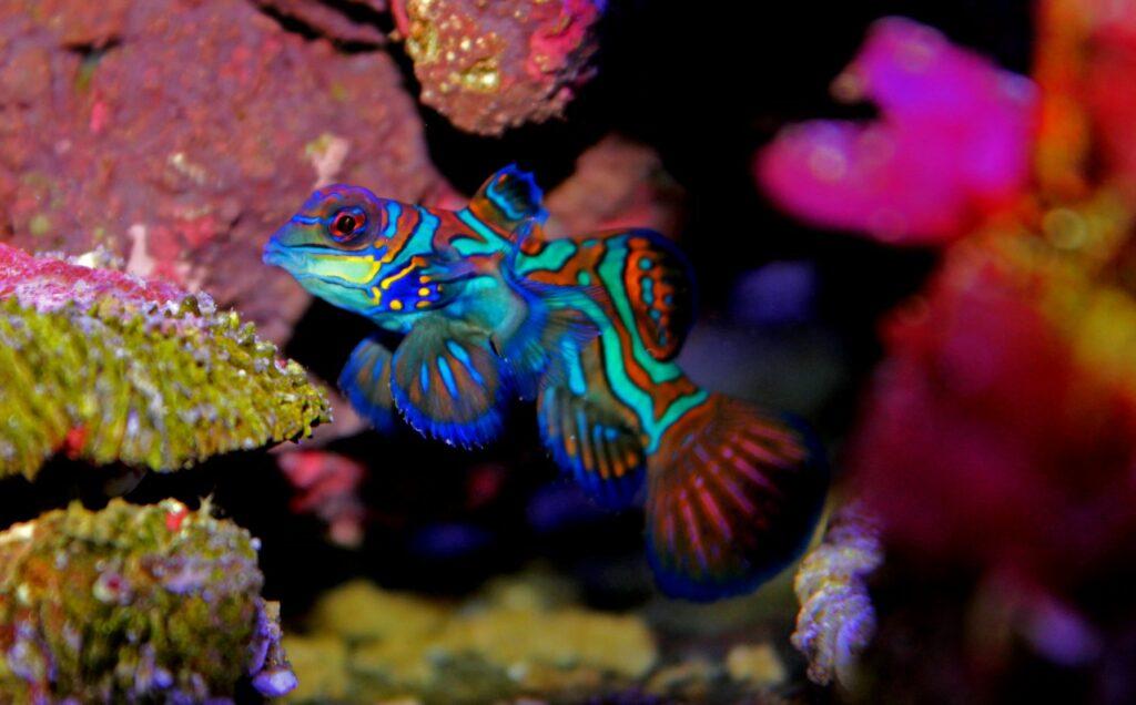Mandarinfisch Synchiropus splendidus