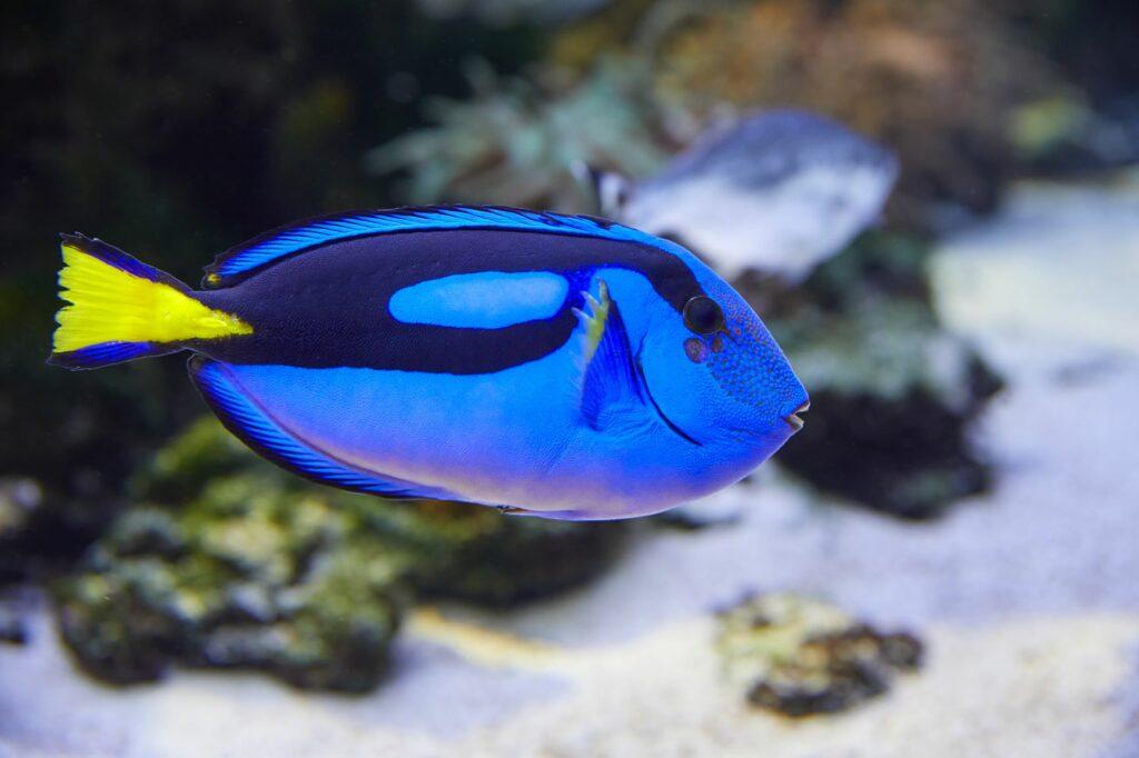 Paletten-Doktorfisch im Korrallenriff